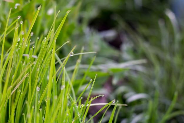 Macro da grama da manhã