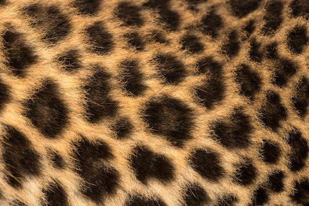Macro da pele de um filhote de leopardo manchado panthera pardus