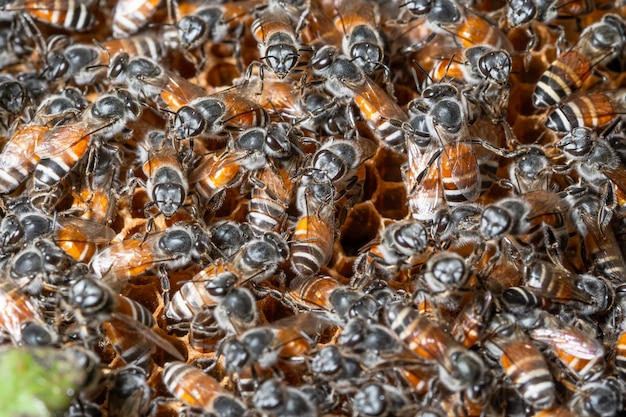Macro de abelha no ninho