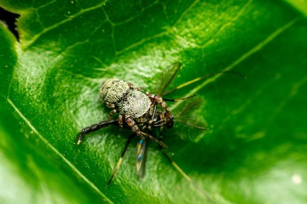 Macro, de, aranha, (jumping, spiders), inseto, comer, mosquito, cima, licença, em, natureza