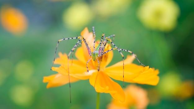 Macro de aranha na flor sobre fundo verde natureza - close-up raro estranho de aranha bonita e colorida