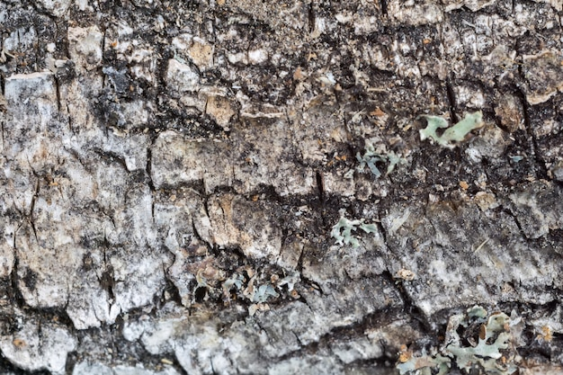 Macro de casca de bétula