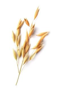 Macro de cereal de aveia galho isolada em fundos brancos.