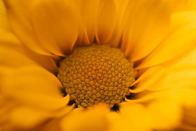 Macro de crisântemo amarelo lindo