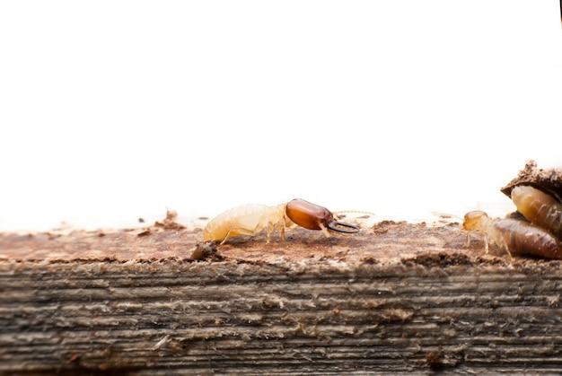 Macro de cupins em madeira em decomposição