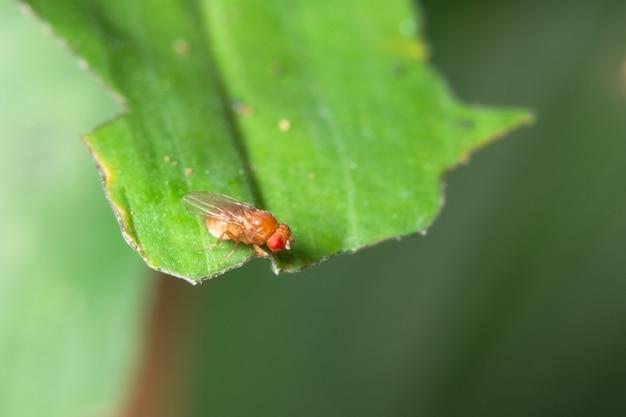 Macro de drosófila em folhas verdes