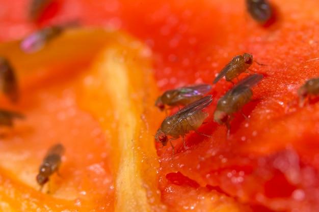 Macro de drosophila