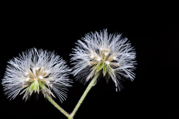 Macro de flor cravo