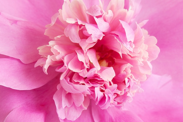 Macro de flor de peônia rosa