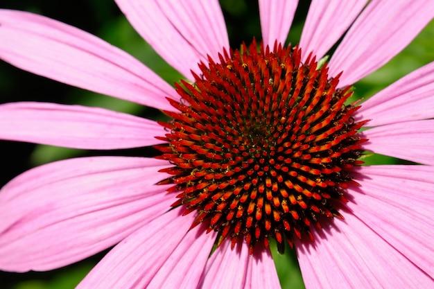 Macro de flor echinacea