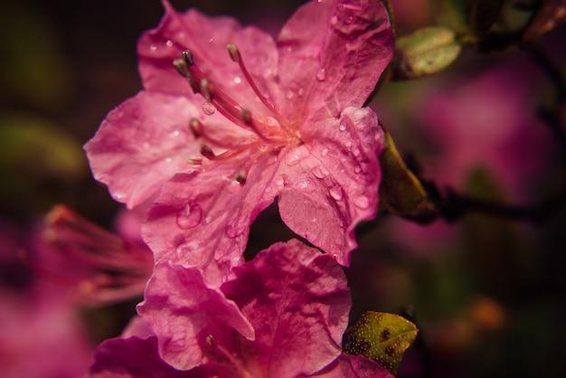 Macro de flores de ameixa rosa desabrochar na luz solar, desfocar o fundo escuro.