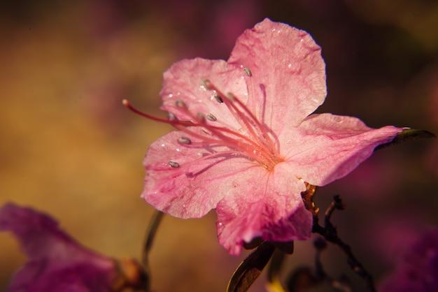 Macro de flores rosa sakura florescendo na luz solar. fundo abstrato bonito da primavera floral da natureza. foco suave, imagem tonificada, espaço de cópia.