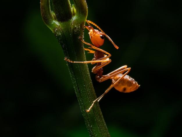 Macro de formiga vermelha