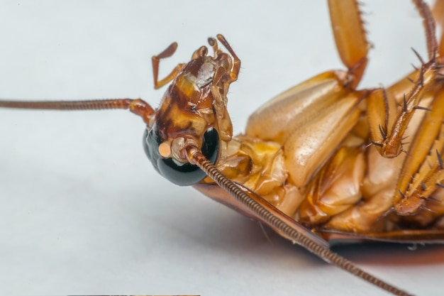 Macro de insetos baratas da ordem blattodea