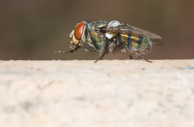 Macro de mosca close-up.