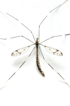 Macro de mosquito no fundo branco