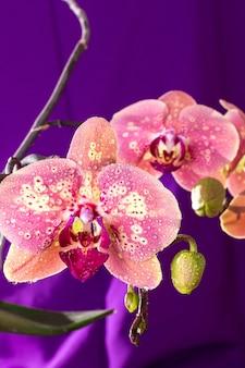 Macro de orquídea rosa com gotas de água.