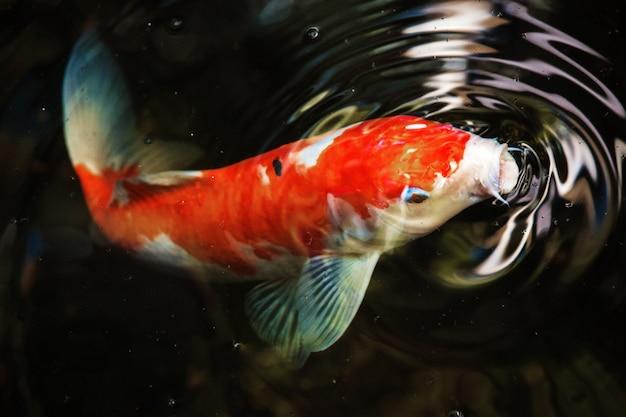 Macro de peixes koi