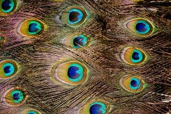 Macro de penas de pavão