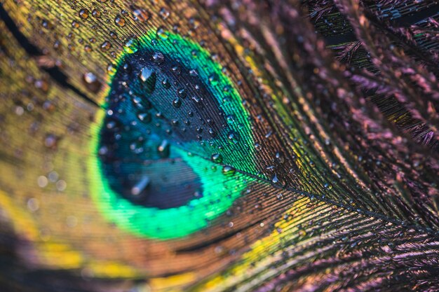 Macro de pluma de pavão com gotas de água