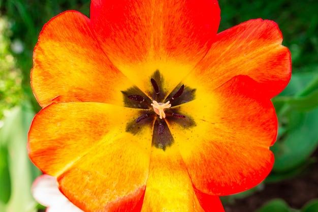 Macro de tulipa vermelha de flor