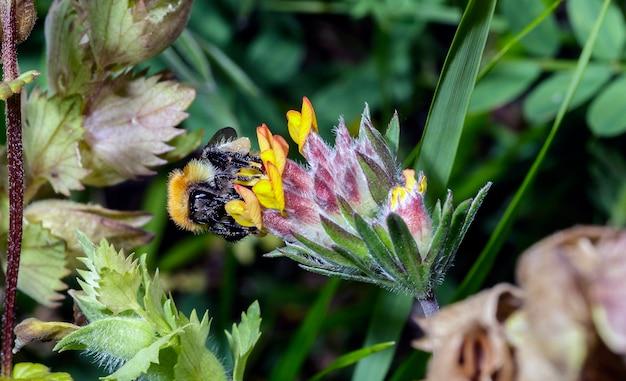 Macro de um bombus, como as abelhas, as abelhas coletam néctar e pólen para nutrição. eles estão entre os insetos polinizadores mais importantes e úteis para os humanos e o ecossistema.