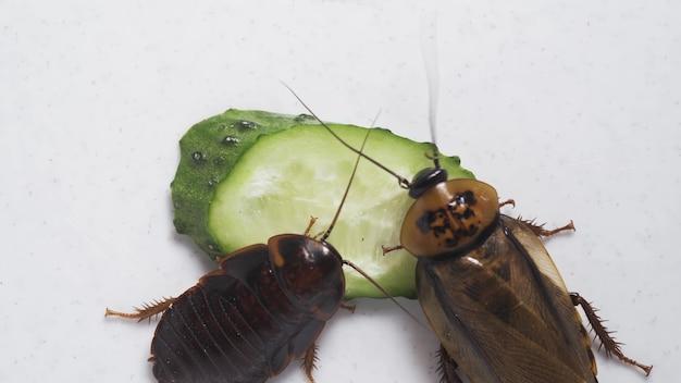Macro de uma grande barata marrom comendo pepino