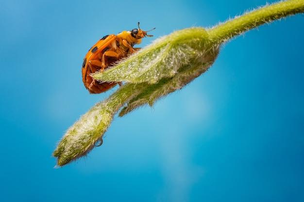 Macro de uma joaninha laranja andando em um galho de uma planta