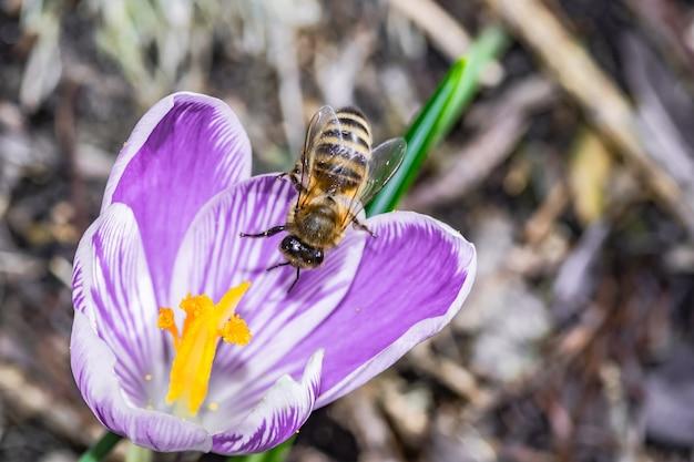 Macro de uma linda flor roxa de crocus vernus com uma abelha