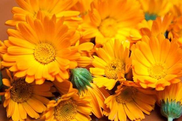 Macro de várias flores amarelas como pano de fundo