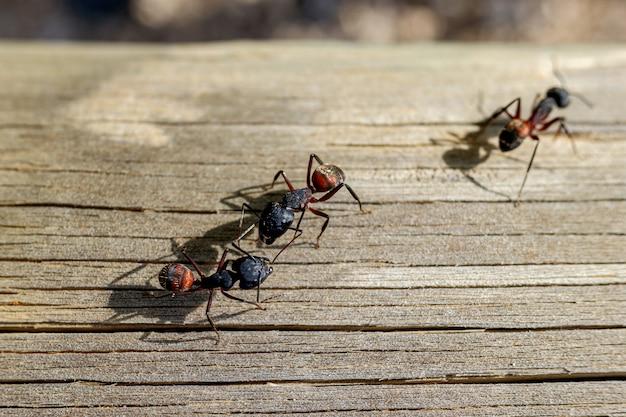 Macro de várias formigas rainhas procurando uma companheira para fazer o ninho.