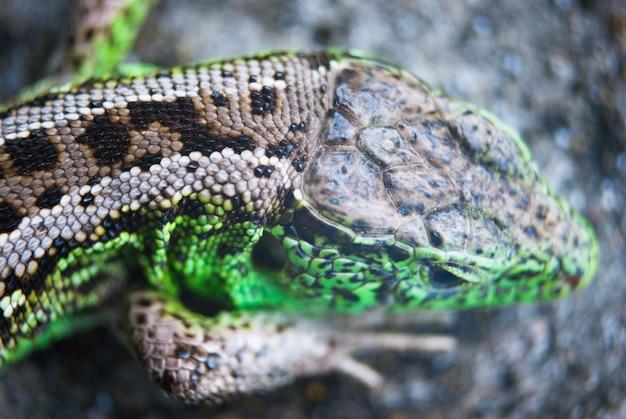 Macro do lagarto verde, fim acima.