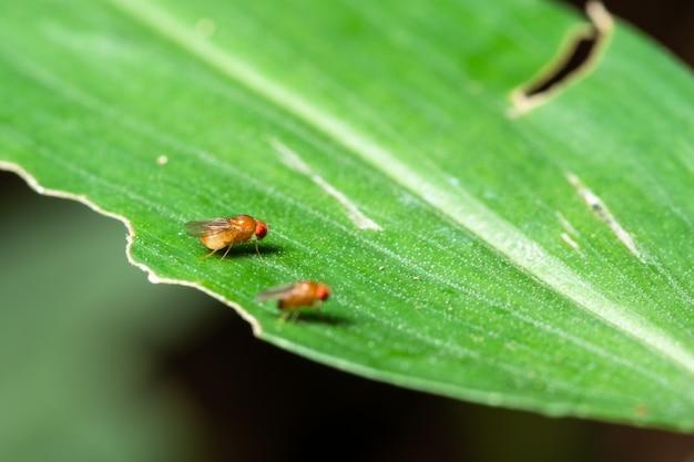 Macro drosophila em folhas