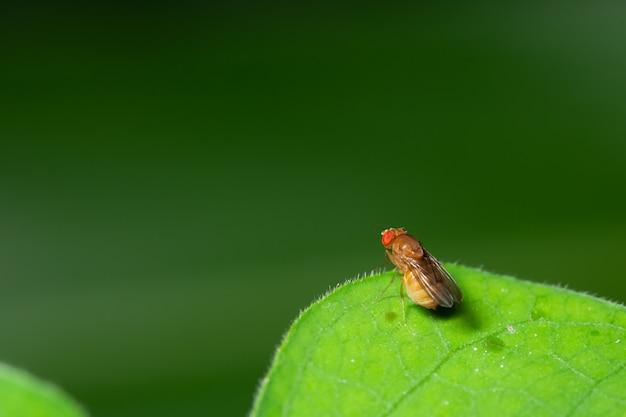 Macro drosophila na folha