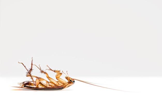 Macro fechar uma barata morta isolada no fundo branco, pequeno inseto marrom com asa, animal que está sujo, nojo, assustador, perturbar, destruir e contágio, controle de pragas com espaço de cópia
