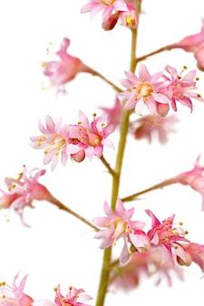 Macro fotografado isolado no fundo branco flor heuchera