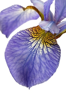 Macro fotografado isolado no fundo branco flor iris sibirica l