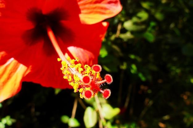 Macro grande e linda flor vermelha em israel