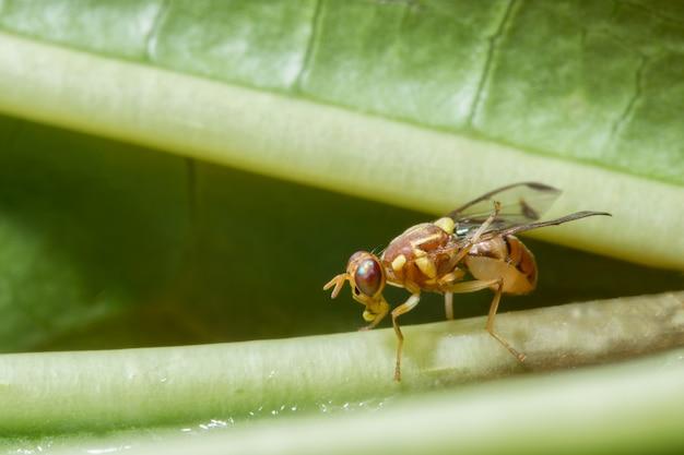 Macro mosca de girassol de girassol (drosophila melanogaster)