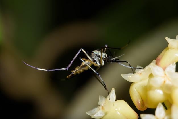 Macro mosquito na natureza
