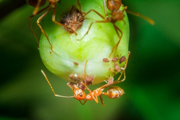 Macro red formigas estão aninhando