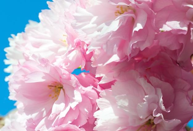 Macro rosa flor de cerejeira japonesa no fundo do céu azul