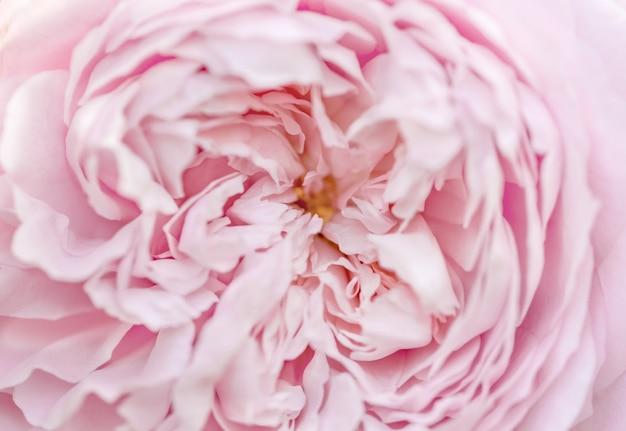 Macro rosa rosa close-up, profundidade de campo rasa