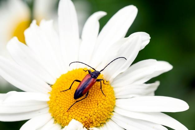 Macro shot of longhorn beetle stenurella melanura em pétalas de flor ecologia de proteção ambiental