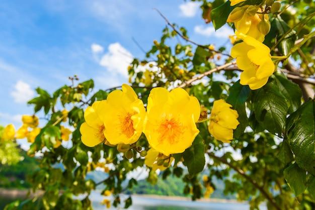 Macro um ramo integerrima ochna integerrima, as flores do tradicional ano novo vietnamita