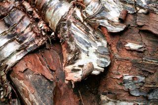Madeira de textura da casca