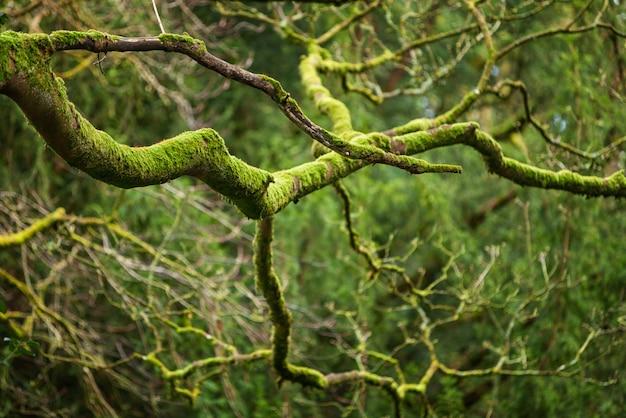 Madeiras mystical, musgo verde natural nos ramos de carvalho velhos. floresta de fantasia natural