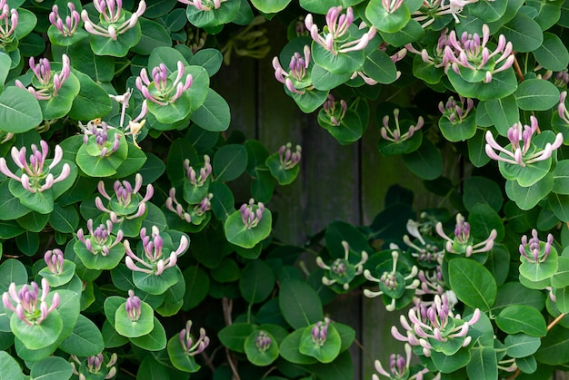 Madressilva de folha de cabra (lonicera caprifolium) com botões de flores, close-up