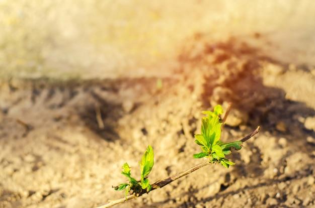 Madressilva jovem broto verde cresce no chão