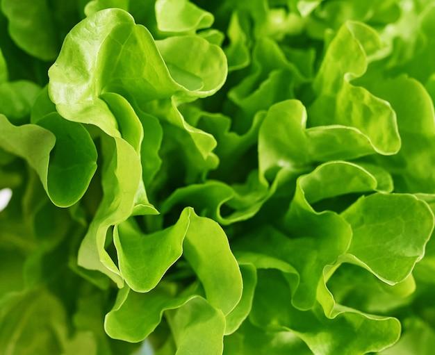 Madura alface verde-batata frita. folha de salada. manteiga verde alface vegetal ou salada. conceito de comida, folhas de vegetais hidropônicos. alimentos orgânicos, agricultura. fundo de legumes frescos
